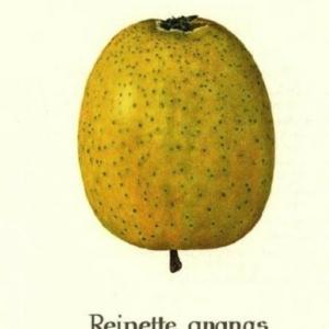 Ananas Reinette9