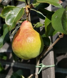 Ananas de Courtrais8